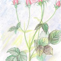 rose1-40